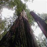 redwood-tree-1472986