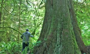 Old Growth Western Cedar in the Jacoby Creek Forest