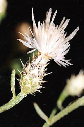 Diffuse Knapweed found in disturbed sites, grasslands, fields and roadsides